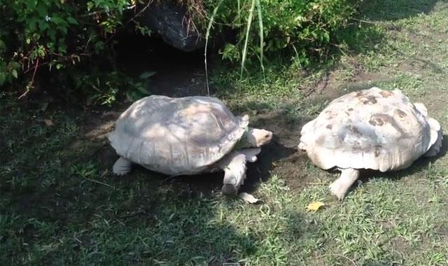 tortoise helps a friend in need